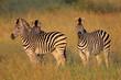 Plains Zebras in natural habitat