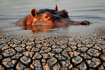Conceptual images of a hippopotamus and drought