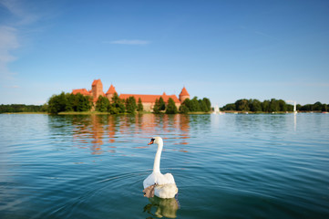 Swan and the Trakai castle in a background