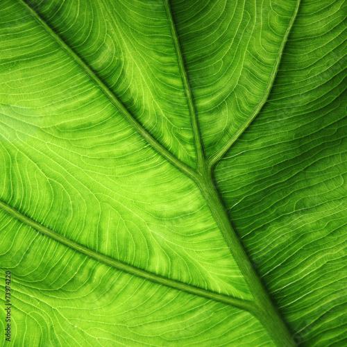 Foto op Plexiglas Bamboe großes Blatt, Unterseite mit Adern