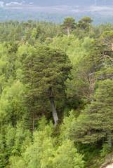 Pin d'Ecosse, Pinus sylvestris