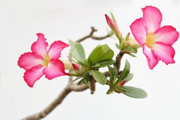 desert rose are beautiful pink flower