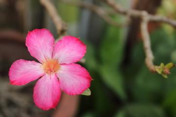 desert rose have pink species