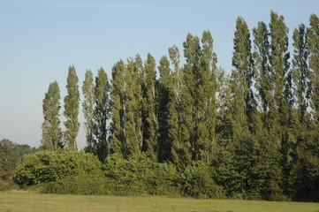 Peuplier d'Italie, Populus nigra italica