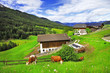 Alpine scenery  - green grass pastures and cows (Dolomites)