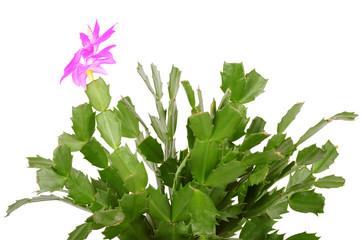 Christmas cactus isolated on white background