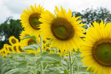 Sunflower farm , in Thailand