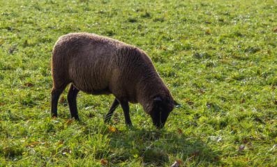 Schwarzbraunes Schaf auf der Weide