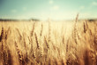 golden wheat field and sunny day - 73982451