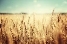 """Постер, картина, фотообои """"golden wheat field and sunny day"""""""