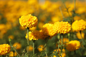 Picture close up marigold with sunshine