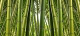 Fototapety Bamboo Jungle