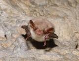 Greater mouse-eared bat ( Myotis myotis) poster