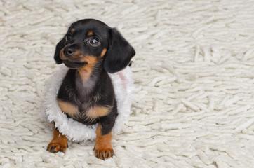 Minature dascshund sausage dog puppy