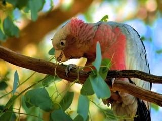 Australian Galah biting branch