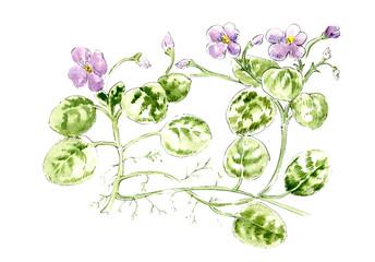 Senpolia. Botany