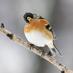 Brambling  perched on a branch