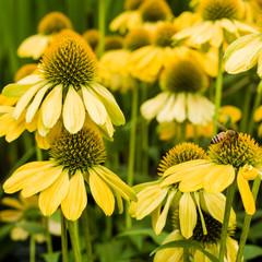 Group of yellow Echinacea flowers