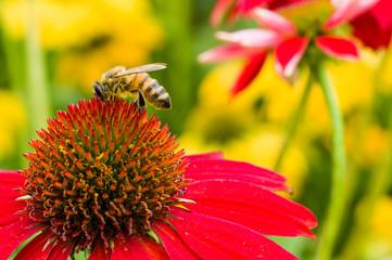 Bee on red flowering Echinacea bloom