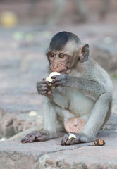 cute small monkey eat banana