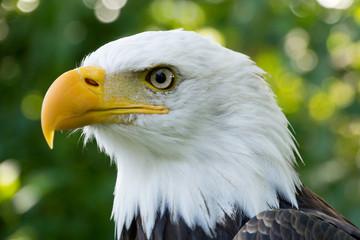 Closeup portrait of American Bald Eagle