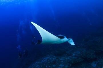 Manta Ray and scuba divers