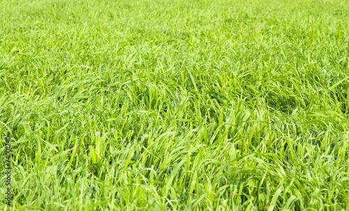 Fotobehang Planten Green grass seamless texture.