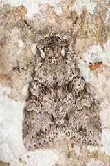 Grey Arches, Polia nebulosa on wood, macro photo