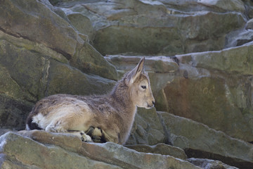 Junge Ziege im Fels