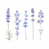 Fototapety Watercolor lavender set. Lavender flowers isolated on white back
