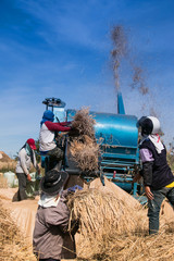 farmers threshing rice