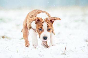 American staffordshire terrier puppy playing with snowball