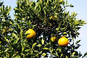 Citrus Siranuhi-1