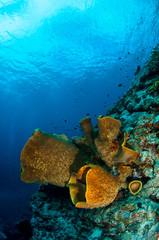Barrel sponge Verongula gigantea in Banda, Indonesia underwater