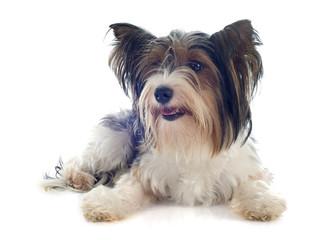 biewer yorkshire terrier
