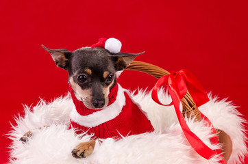 Pincher dog for Christmas