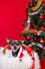 Pincher dog under Christmas tree