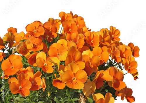 fleurs de pensée orange