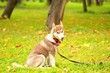 The dog of breed huskies sits on a grass in park on a lead