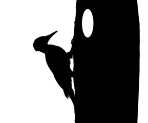 Black woodpecker on tree silhouette