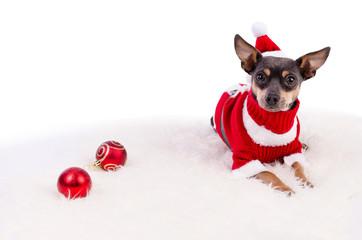 Christmas pincher dog laying on white rug