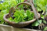 panier de salade dans potager