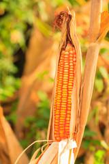 corn in field.