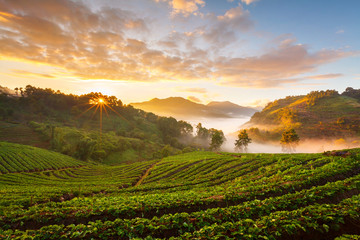 Misty morning sunrise in strawberry garden at Doi Angk-hang moun