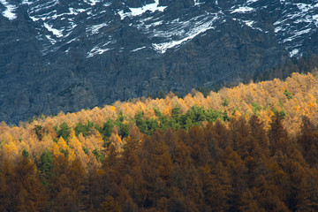 Yellow pine trees in the alps
