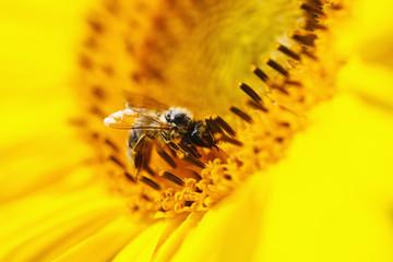 Deutschland, Bayern, Honigbiene (Apis mellifera) auf Sonnenblume (Helianthus sp.), Nahaufnahme