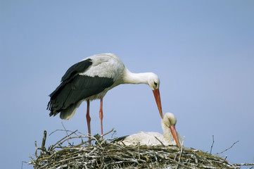 Störche im Nest