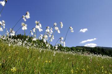 Wollgras auf einer Wiese im Salzburger Land, Österreich