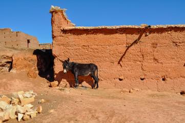 Asino marocchino 2