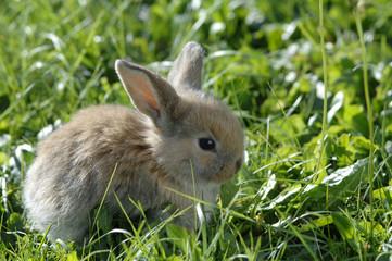 Kaninchen auf der Wiese, close-up